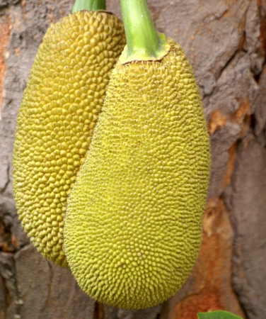 Artocarpus heterophyllus, jackfruit, evergreen tree of humid tropics, with thick leathery leaves, shining above, and inflorescence on trunk, maturing into composite fruit, popular vegetable in India