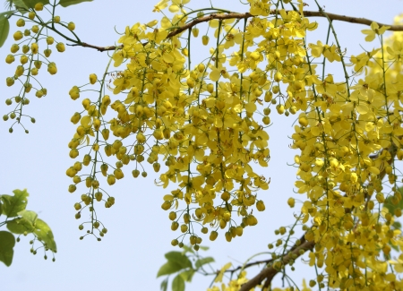 Cassia fistula, Amaltas, common summer flowering tree in Delhi  Flowers yellow in large drooping racemes  Fruit cylindrical, up to 80 cm long, used in medicine
