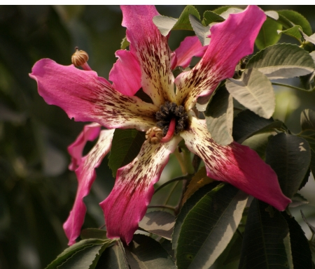 palmate: Ceiba speciosa, beautiful tree flowering in autumn with palmate compound leaves and large pink flowers, white at base