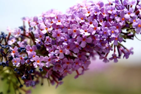 Buddleia davidii, summer lilac, orange-eye buddleia  A deciduous shrub with lanceolate leaves up to 25 cm long, white-tomentose beneath, oothed  Flowers lilac with orange eye, in up to 25 cm long spikes                    Stock Photo