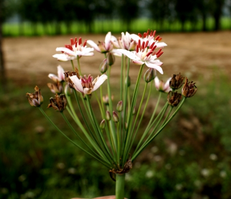 aquatic herb: Butomus umbellatus, flowering rush, water gladiolus, grassy rush  Perennial aquatic herb up to 1 5 m tall, leaves rush-like, 3-angled  Flowers showy, 2 5 cm across, rose-coloured in umbels