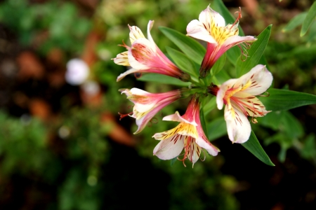 Alstroemeria psittacina, a perennial herb with lanceolate upto 7 cm long leaves and up to 4.5 cm long flowers, spotted green and brown