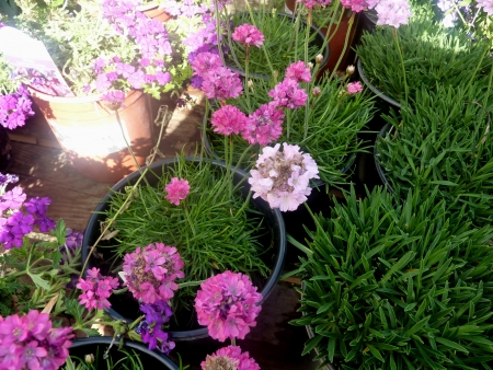 marsh daisy, sea cusion, sea daisy, Armeria maritima, low growing herb with linear 1-nerved leaves and pink or white flowers in heads on scape Stock Photo