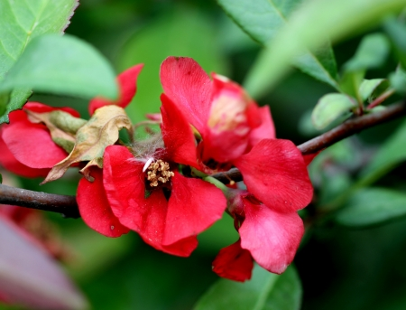 Japanese flowering quince, lesser flowering quince, Chaenomeles japonica, a small shrub with slender spines, obovate toothed leaves and salmon to orange 3 cm across flowers. Fruit 4-6 acm across, orange-yellow when ripe.