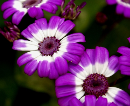 senecio: Cineraria, Pericallis x hydrida  syn  Cineraria x hybrida, Senecio x hybridus , ornamental with large leaves with winged petioles, heads purple, pink to white, ray bicolored base white apex colored                   Stock Photo