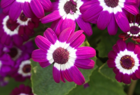 senecio: Cineraria, Pericallis x hydrida  syn  Cineraria x hybrida, Senecio x hybridus , ornamental with large leaves with winged petioles, heads purple, pink to white, ray bicolored base white apex colored