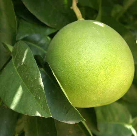 citrus maxima: Shaddock, pumelo, pommelo, pummelo, pompelmous, Citrus maxima (syn: C. grandis), evergreen tree, with broadly winged petiole, flowers large pale yellow to white in colour and globose fruit, up to 15 cm in diameter, yellow when mature.                      Stock Photo