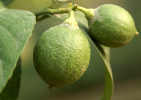 Citron, Citrus medica, evergreen tree, petiole not winged, flowers white, purplish in bud, fruit rough, up to 10 cm in diameter, rind very thick                   Stock Photo