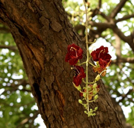 Sausage tree, Kigelia africana  syn  Kigelia pinnata , evergreen tree with pinnate leaves and scarlet flowers in long drooping inflorescence, fruits sausage like