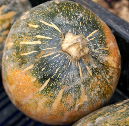 sita: ayote squash, Cucurbita moschata, kadu or petha in India, used as vegetable