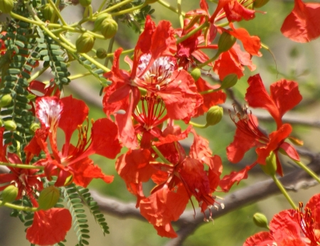 Flame of forest, Delonix regia, a deciduous tree with bipinnate leaves and red large scarlet flowers in panicles  Common avenue tree in India