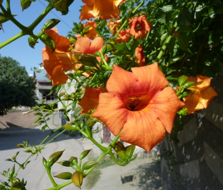 madam: Trumpet vine, Campsis x tagliabuana  Madam Galan , woody climber with 7-11 glabrous leaflets, orange colored flowers in racemes  Sterile hybrid