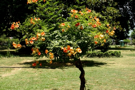 leaflets: Trumpet vine, Campsis x tagliabuana  Madam Galan , woody climber with 7-11 glabrous leaflets, orange colored flowers in racemes  Sterile hybrid