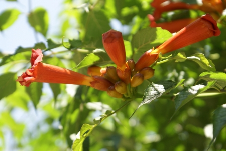 cow teeth: Trumpet vine, trumpet creeper, cow-itch, trumpet honeysuckle, Campsis radicans, a woody climber with 9-11 leaflets, hairy beneath, flowers orange-scarlet flowers with long tube, and pointed fruits