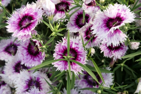 bracts: Chinese pink, Indian pink, Japanese pink, Dianthus chinensis, a cultivated herb with opposite leaves, loosely clustered flowers in different colors, bracts with long points, and about 2 5-3 cm across flowers