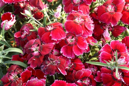 bracts: Chinese pink, Indian pink, Japanese pink, Dianthus chinensis, a cultivated herb with opposite leaves, loosely clustered flowers in different colors, bracts with long points, and about 2 5-3 cm across flowers                                      Stock Photo