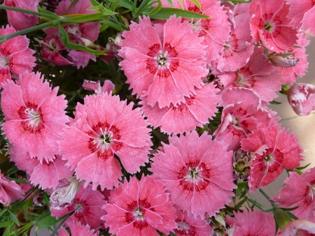 Chinese pink, Indian pink, Japanese pink, Dianthus chinensis, a cultivated herb with opposite leaves, loosely clustered flowers in different colors, bracts with long points, and about 2 5-3 cm across flowers                  Stock Photo - 19786808
