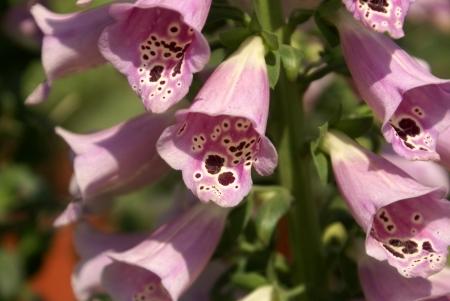 lanceolate: Digitalis, foxglow, Digitalis purpurea, pianta ornamentale coltivata con foglie lanceolate, fiori pendenti irregolari in qualche modo a forma di campana in racemi lungo fonte di importanti digitale droga