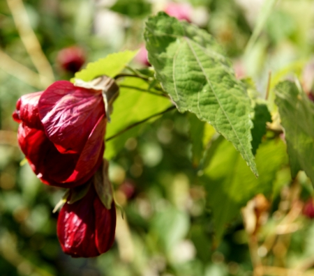 Chinese lantern, Abutilon x hybridum, a softly woody shrub with 3-5-lobed green leaves, flowers nodding, in various colored and darker veins