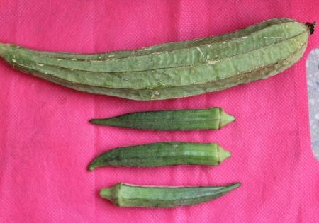 malvaceae: Okra, Abelmoschus esculentus of Malvaceae and Chinese okra, Luffa acutangula of Cucurbitaceae, both used as vegetables. Stock Photo