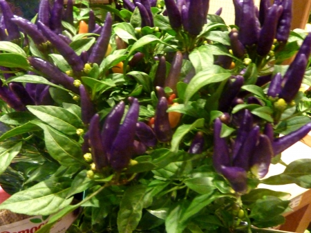 erect: Masquerade pepper, Capsicum annuum, ornamental pepper with erect up to 5 cm long purple fruits subsequently turning yellow, red, suitable for growing in pots.
