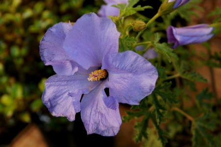 pubescent: lilac-hibiscus, hibiscus bleu, blauer Hibiscus, Alyogyne huegelii, shrub with 3-5-lobed or parted leaves and lilac flowers, epicalyx 8-12  Stock Photo