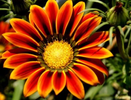 cm: Gazania ringens, treasure flower, rhizomatous perennial with obovate-lanceolate leaves, white beneath, heads 6-8 cm across on 15-20 cm long peduncles, ray orange yellow with blackish base                 Stock Photo