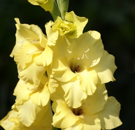 bracts: Gladiolus hortulanus, garden gladiolus, perennial herb with corms, sword-shaped leaves and variously coloured flowers in one-sided spikes, each flower suspended by two bracts                      Stock Photo
