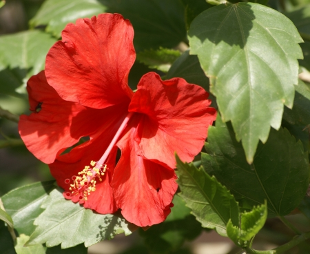 china rose: China rose, shoe flower, Hibiscus rosasinensis, shrub or small tree with toothed leaves and solitary axillary flowers on jointed peduncle, with linear epicalyx lobes and long staminal tube