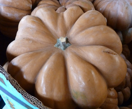Fairytale pumpkin, Cucurbita moschata, a French variety also known as Musque De Provence has large deeply lobed and depressed fruits with mahogany to tan skin and mahogany orange flesh, suitable for roasting