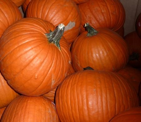 Pumpkin, Connecticut field pumpkin, Cucurbita pepo, a globose large sized pumpkin with orange grooved skin and deep orange flesh most suited for carving  Stock Photo