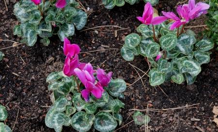 cartilaginous: pink flower