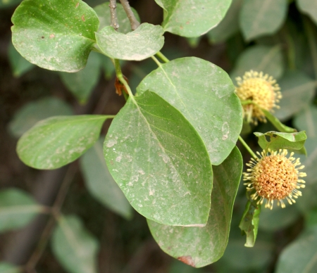 globose: Mitragyna parvifolia, a deciduous tree with oblong to ovate leaves and small flowers in globose heads, with long style and head-like stigma, fruit turning dry when mature