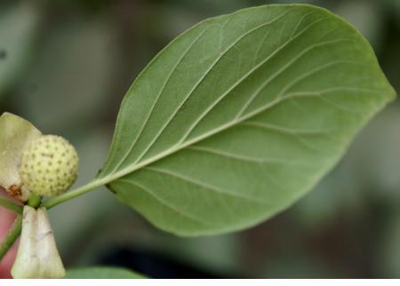 petites fleurs: Mitragyna parvifolia, un arbre � feuilles caduques avec oblongues � ovales feuilles et de petites fleurs en capitules globuleux, avec style long et la stigmatisation t�te-like, fruit tournant sec � maturit�