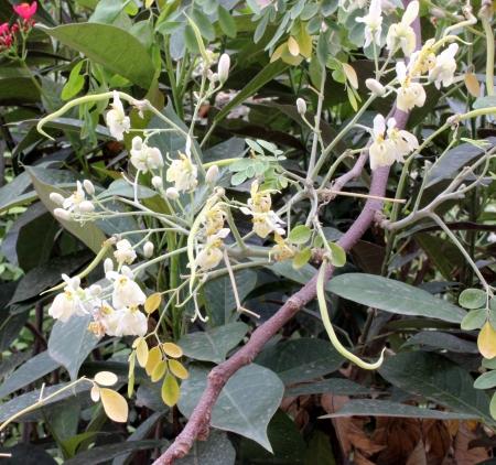 oleifera: Palillo �rbol, ben, Moringa oleifera s�ndrome M pterygospera, �rbol de hoja caduca con 2-pinadas de 3-pinnadas hojas y flores fragantes blancas en pan�culas largas y colgantes frutas stick-como