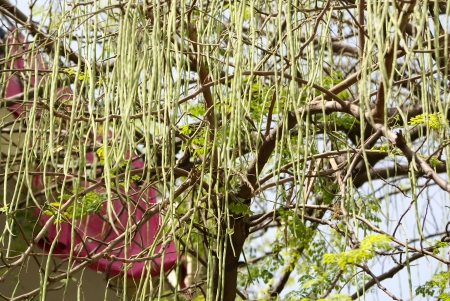 Drumstick tree, horseradish tree, Moringa oleifera  syn  M  pterygospera , deciduous tree with 2-pinnate to 3-pinnate leaves and white fragrant flowers in panicles and long pendulous stick-like fruits