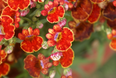 toothed: Nemesia, Cape-jewels, Nemesia strumosa, annual ornamental herb with toothed leaves and yellow to purple flowers with bearded throat, in racemes, pouch at base