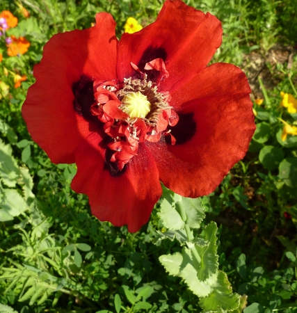 clasping: Opium poppy, Papaver somniferum, cultivated annual with glacous, sessile clasping leaves, toothed  Flowers up to 10 cm across, white pink to red on long stalk, dark spot at base of petals  Source of opium