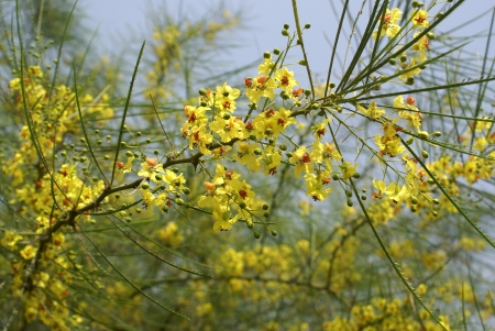 flattened: Jerusalem thorn, Mexican palo verde, Parkinsonia aculuata, a spiny tree with pinnate compound leaves with flattened rachic and small leaflets  Flowers yellow in racemes  Pod slender, leathery                             Stock Photo