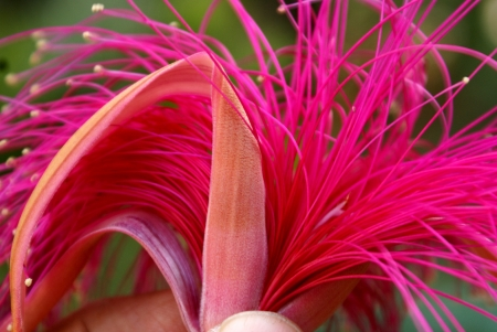 numerous: Shaving brush tree, Pseudobombax ellipticum, large tree with palmate compound leaves and  white to pinkish-red flowers with numerous long filaments