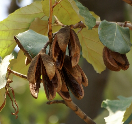 Kanak champs, Pterospermum acerifolium, a large tree with  lobed leaves white beneath,  white fragrant flowers and dry woody winged fruits Stock Photo - 20176639