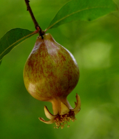 punica granatum: Pomegranate, Punica granatum, shrub to small tree with shining leaves and and red flowers with crumpled petals and maturing into fruit with numerous fleshy seeds                Stock Photo