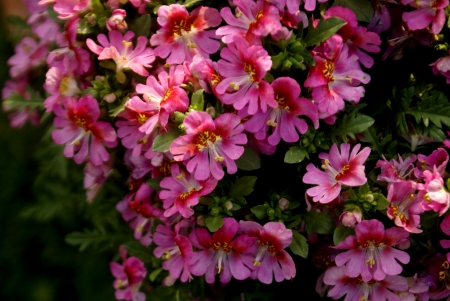 pinnately: Poor man s orchid, Schizanthus wisetonensis, hybrid ornamental herb with pinnately cleft leaves white, pink, to carmine or bluish flowers , suffused with yellow, bilipped corolla in  terminal cymes