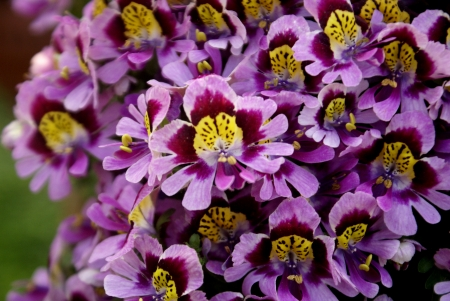cleft: Poor man s orchid, Schizanthus wisetonensis, hybrid ornamental herb with pinnately cleft leaves white, pink, to carmine or bluish flowers , suffused with yellow, bilipped corolla in  terminal cymes