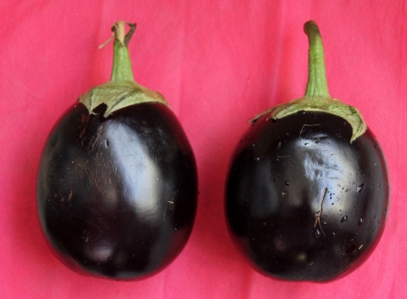 bushy plant: Brinjal, egg plant, Solanum melongena, cultivated bushy plant with gray-tomentose spiny with ovate to oblong leaves and one or few nodding violet flower Fruits are variable in size, globose to oblong, purple Usually