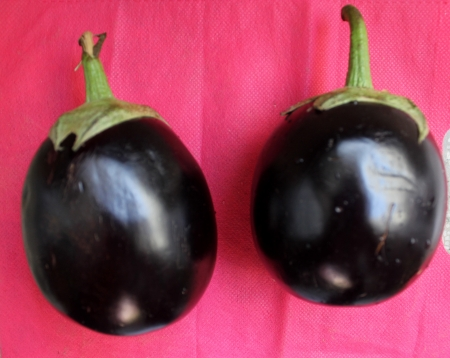 bushy plant: Brinjal, egg plant, Solanum melongena, cultivated bushy plant with grey-tomentose spiny with ovate to oblong leaves and one or few violet nodding flower  Fruits are variable in size, globose to oblong, usually purple
