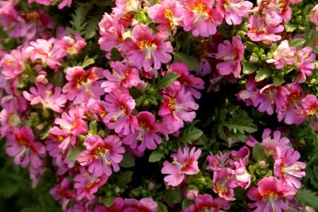 carmine: Orchidea Povero uomo s, Schizanthus wisetonensis, ibrido erba ornamentale con schisi pinnately foglie bianche, rosa, a Carmine o bluastre fiori, soffusi di giallo, bilipped corolla in cime terminali