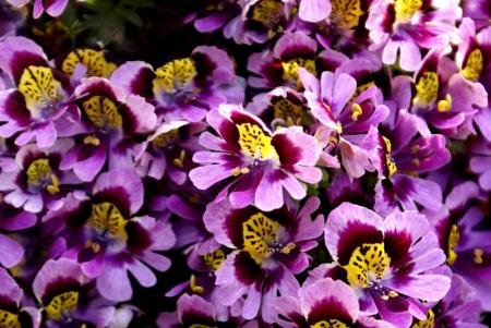 pinnately: Povero uomo s orchidea, Schizanthus wisetonensis, erba ibrida ornamentale con foglie pinnately leporino bianche, rosa, di carminio o fiori bluastri, soffusi di giallo, bilipped corolla in cime terminali Archivio Fotografico