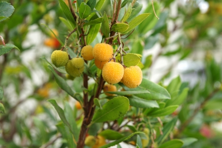 toothed: Strawberry tree, Arbutus unedo, evergreen tree with shining obovate toothed leaves and white to pinkish urn-shaped flowers in drooping panicles  Fruits orange to scarlet, strwberry-like  Stock Photo