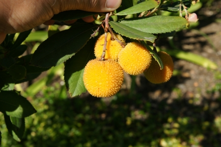 drooping: Strawberry tree, Arbutus unedo, evergreen tree with shining obovate toothed leaves and white to pinkish urn-shaped flowers in drooping panicles  Fruits orange to scarlet, strwberry-like  Stock Photo